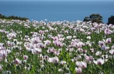Bass Strait Poppies.